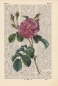 Preview: China Rose - Print on antique book page